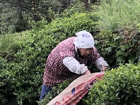 【無農薬自然栽培】2021年山の中の 緑茶 山茶 荒茶 普段使いで安心して飲める素朴な味のお茶100g×2