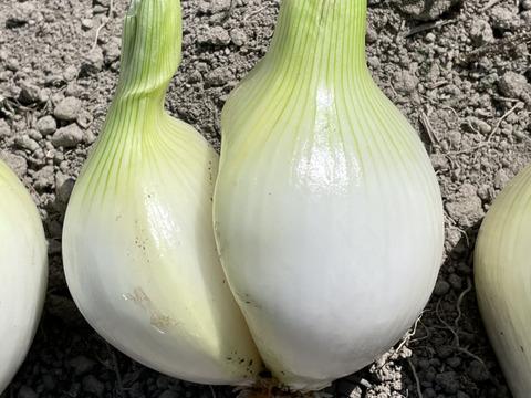 【訳あり】淡路島産新玉ねぎ5kg(12-15個)