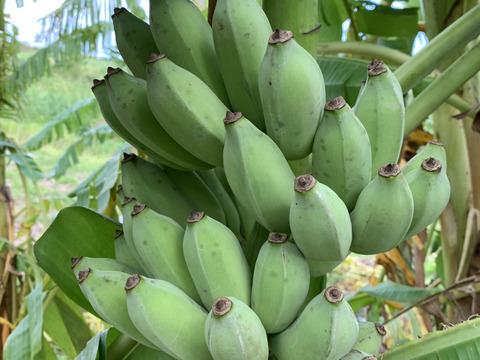 〔自然栽培〕寛尚ファームで採れたバナナ3kg