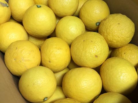 (予約販売セール中200円引き)ニューサマーオレンジ『日向夏』家庭用5キロ 4月19日より順次発送