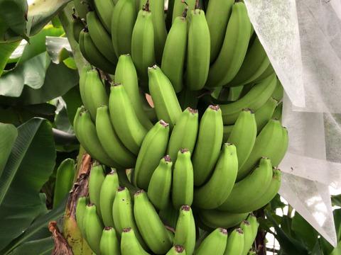 商品追加メニュ- 皮まで食べるバナナの新常識です!! 愛媛県鬼北町 純国産 高級スマイルイン・バナナ 5本