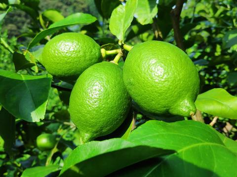 【農薬不使用】大崎上島産特別栽培グリーンレモン2kg