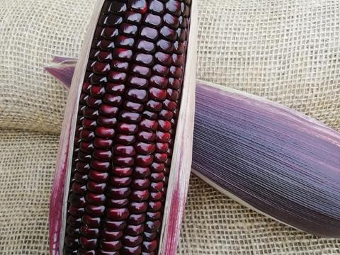 [終了間近] もっちもちの食感! 留守農場の紫トウモロコシ(5本)