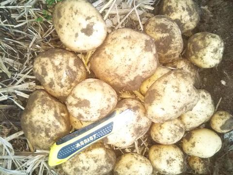 【新じゃが 秋モデル】 世界農業遺産ブランド野菜 農薬不使用栽培 (畑から直送)