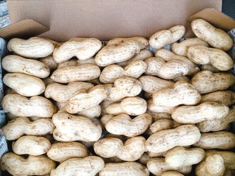 栽培期間中農薬不使用 大きな生落花生 おおまさり約2kg(風袋込み)