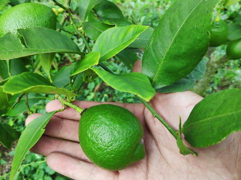 無農薬ミニグリーンレモン2kg