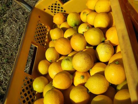 大崎上島産特別栽培レモン2kg