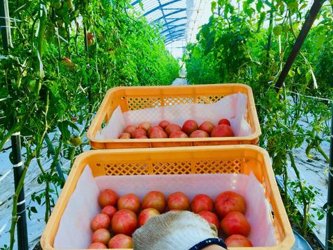 【桃太郎トマト🍅】トマト2kg ギュッとしっかりトマト!