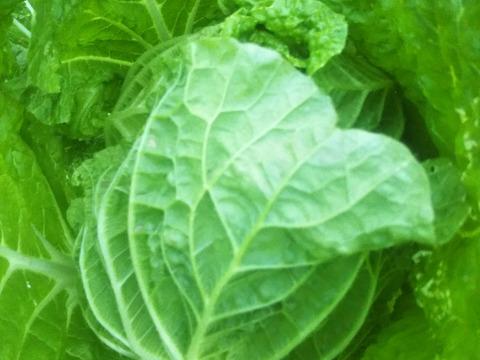【冬の特典】 お待たせしました。白菜/大根セット (世界農業遺産ブランド野菜)