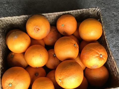 今年さいごです。農薬不使用 ネーブルオレンジ 4キロ