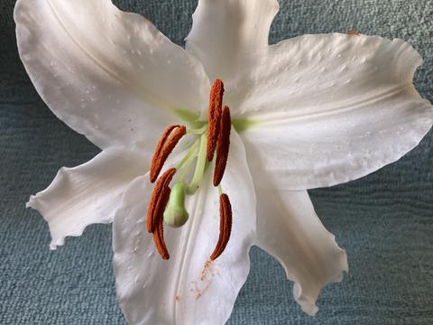 <One Lily ワンリリー>百合 純白 1輪 (¥360郵送ショコラ箱)※全国
