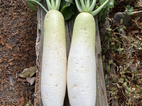 【農薬・化学肥料不使用】自然農法で育った大根 5本パック