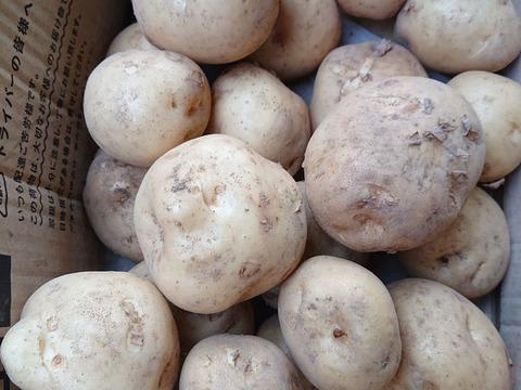 ジャガイモ(1.8kg)ホクホクして美味しい  男爵  大小混在【農薬不使用】
