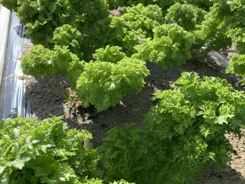 淡路島で栽培したわさび菜🥬600g