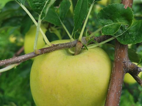 りんご(印度) 3キロ(家庭用)