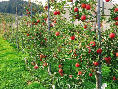 🍎【収穫前予約開始】ご家庭向け 『葉とらずサンふじ』 3㎏🍎