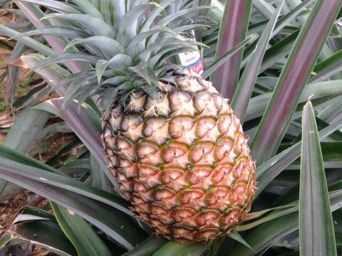 【ハウス栽培】完熟ハワイ種2玉(昔ながらのパイン)1玉1.3キロ前後