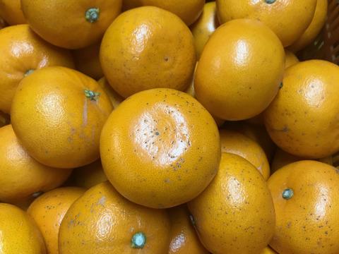 柑橘の大トロ せとか訳アリ4㎏