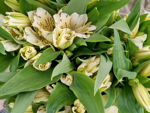 単色 アルストロメリアの花束(白 10本)
