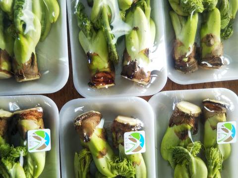 『送料割安 食べきりサイズ』  タラの芽3パック 春を一足先に告げる南国の木の芽です 世界農業遺産ブランド野菜 農薬不使用栽培