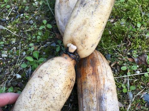 冬こそ皮ごと丸かじり!棚田レンコン1.5kg 農薬使わずこだわり有機質肥料で育てた棚田レンコン!