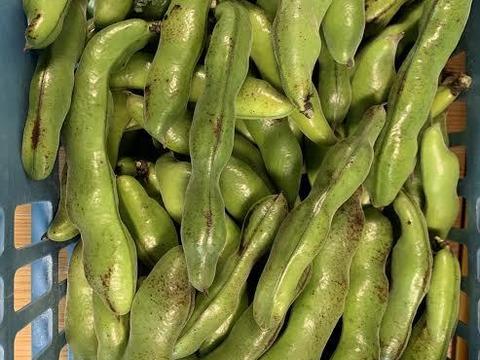 【最終訳ありそら豆】安心安全‼ 塩茹で、豆板醤に!自然栽培で育てた そら豆(さや付き)1kg
