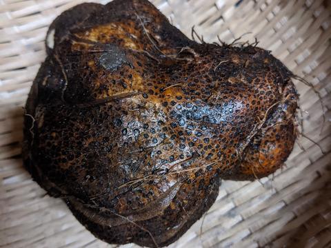 【農薬化学肥料不使用】とろろごはんにピッタリ!山芋(つくね芋)約1kg