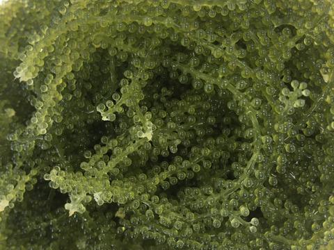 まるで海の中!?宮古のマーメイド海ぶどう(500g)