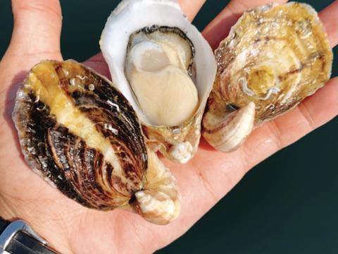 殻付き生食用!シングルシード真牡蠣 バージンオイスター 彩華 2kg 40個前後