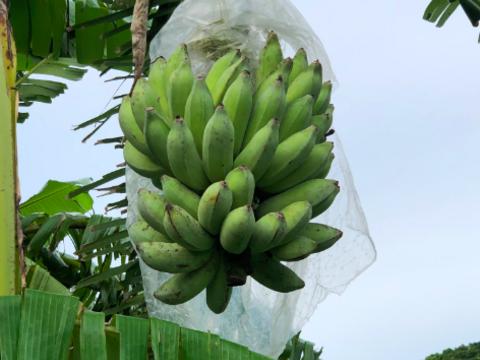 無農薬ナムワバナナ 2~ 3房・計3kg