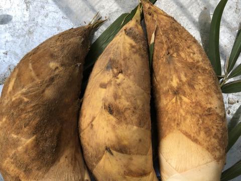 【季節限定】注文後収穫! 和歌山 山東産 タケノコ (8kg) 茹でる用のぬか付き