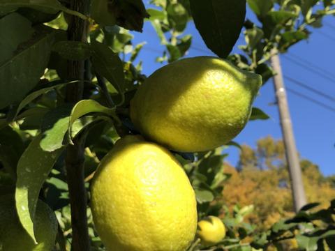 減農薬こだわりもぎたてレモン2キロ  大崎上島産