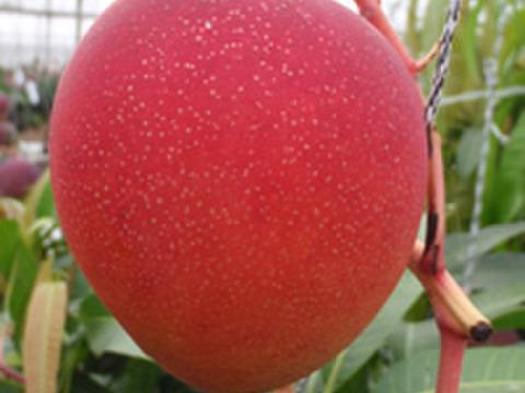 沖縄西表島の太陽をたっぷり浴びて糖度14度以上!優品マンゴー2~4個(1kg)【ご家庭用にお手頃価格!】