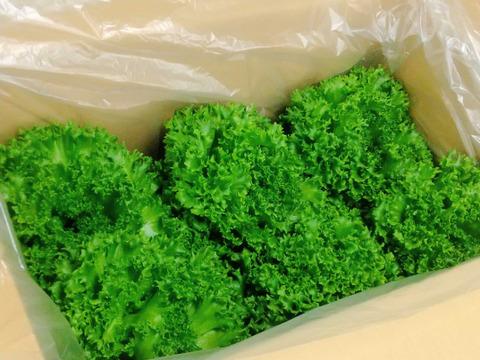 【味と食べ応えに自信あり!】1玉約300g!!の完全閉鎖型植物工場産のフリルレタス (6玉)
