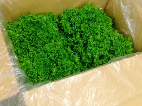 【味と食べ応えに自信あり!】1玉約300g!!の完全閉鎖型植物工場産のフリルレタス (4玉)