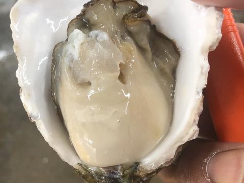 生食可‼️ 佐伯産岩牡蠣 牡蠣 養殖 軍手牡蠣ナイフセット