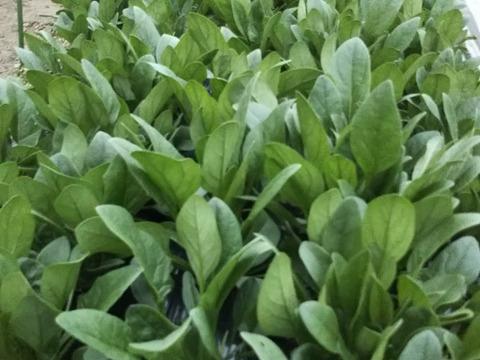 春の訪れ 『農薬不使用栽培 組合せセット』 こだわりの農薬不使用栽培   世界農業遺産ブランド野菜