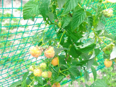【観賞用 花・植物】【盆栽ラズベリー】【約20cmポット】【内容量1ヶ】棘有り