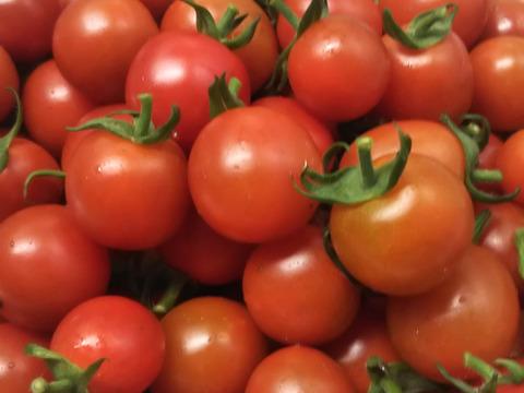 希少な固定種 ステラミニトマト(1kg) 農薬化学肥料不使用