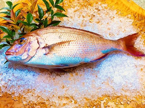 産地直送❗️長崎県産養殖真鯛 一尾1キロ〜1.2キロサイズ  鱗と内臓処理済み。  熨斗付き可