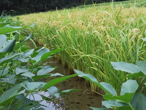 【予約承り中】 手仕事  昭和のリバイバル玄米(肥料農薬不使用、自家採種、おだ掛け)