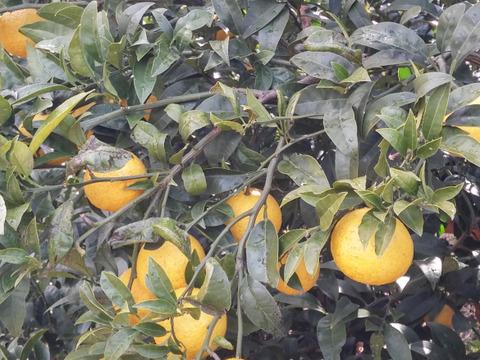 黄金柑(ゴールデンオレンジ)3㎏「愛媛県産」