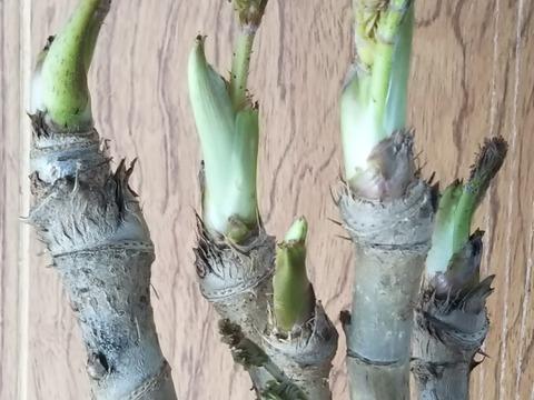 『激レア』 自宅で育てるタラの芽 好評につき第3弾 今度の商品は簡単栽培バージョンです  春を一足先に告げる南国の木の芽です