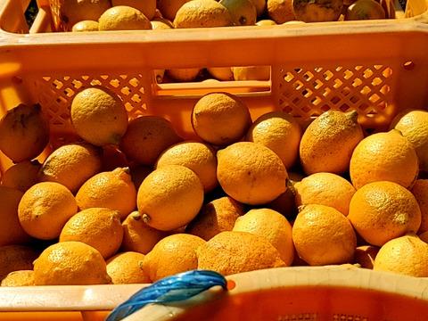 【農薬不使用】大崎上島産自然栽培完熟レモン2kg