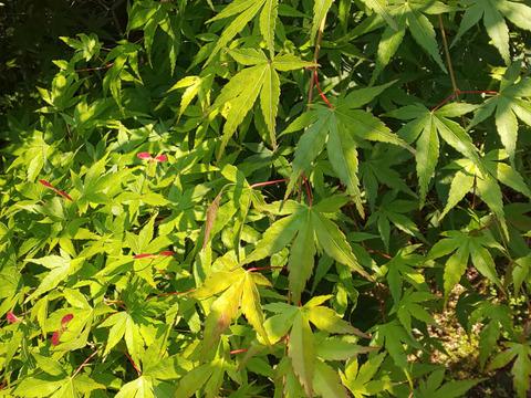 飾り用葉紅葉