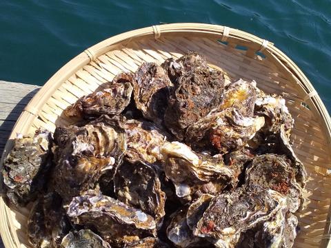 旨味たっぷり!海から水揚げしたまま倉橋産殻付き牡蠣  2kg
