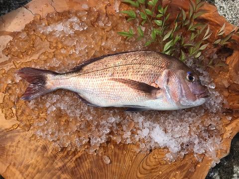 長崎県産養殖真鯛 1尾1.5キロ 鱗と内臓処理済み!熨斗付き可。