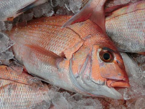 【初回限定BOX】糸島真鯛1匹と漁師厳選旬魚1匹!お試しセット!