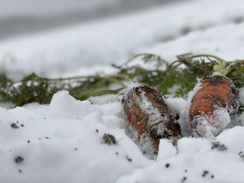 【お買得】ヒビ曲り品4㎏ 甘み極上の雪下人参「灯かり」