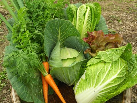 <限定販売>雑草と共存共栄!大寒波の影響をうけてしまいましたが、味は美味しいおまかせ収穫野菜セット(4品)+料理人づくり「生ドレソース」(1本)